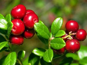 Брусника - источник кислоты бензойного типа