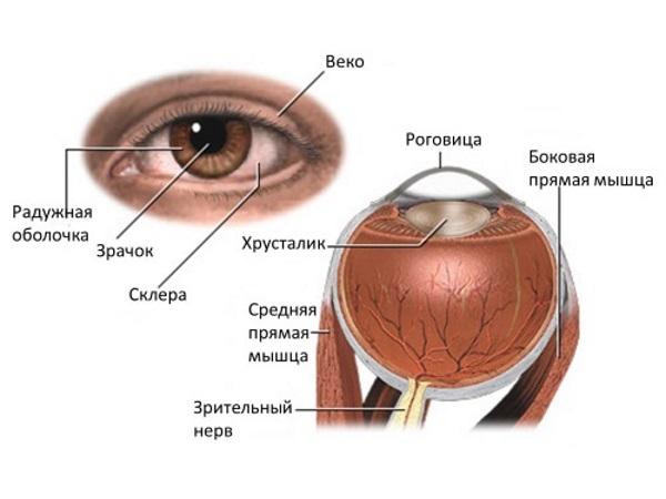 Строение глаза и века
